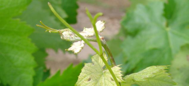 Wine grape shoots 10 cm in length