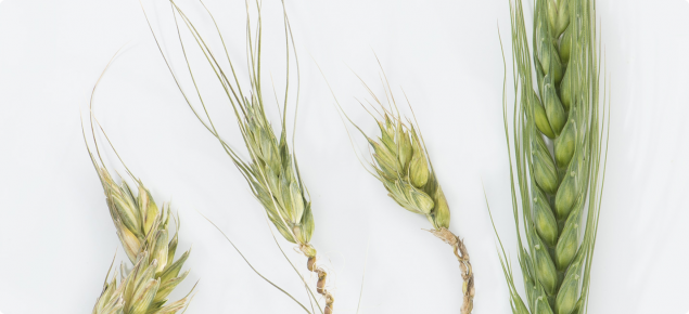Visible symptoms after head emergence seen as missing or bleached florets