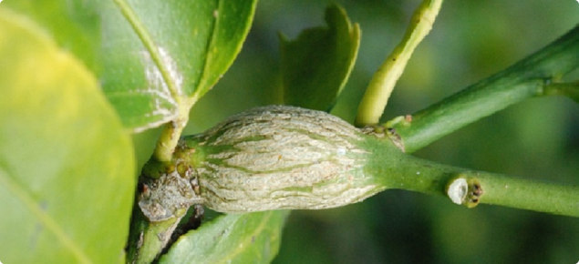 Fresh gall on citrus tree caused by citrus gall wasp larvae