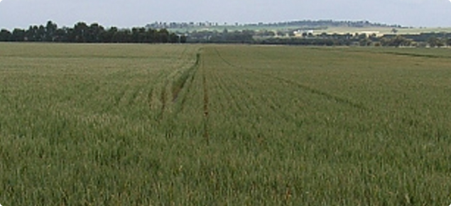 A wheat crop on a gently sloping hill showing a clear demarcation of an area showing frost damage with retarded growing compared to a well performing area.