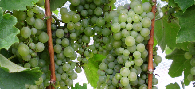 Furmint wine grapes