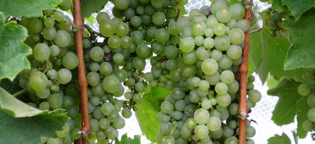 Furmint wine grapes