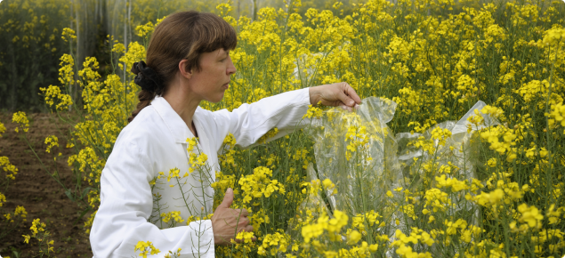 Genetically modified canola field trail