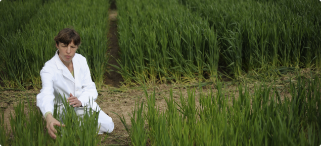 Genetically modified crop trial