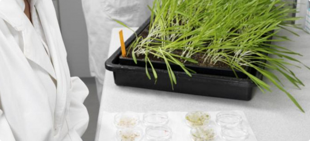 GM wheat seedlings growing in a tray on the lab bench for tissue testing