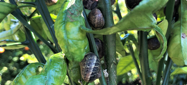 Garden snails in citrus tree canopy