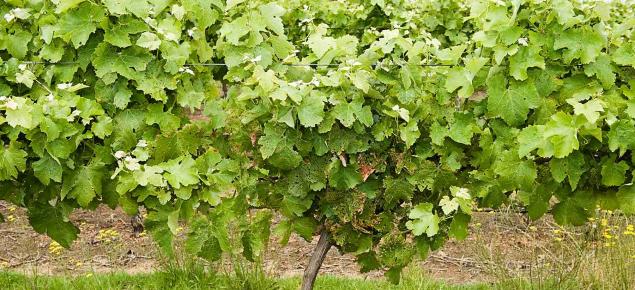 Garden weevil adult leaf damage at the crown of vines