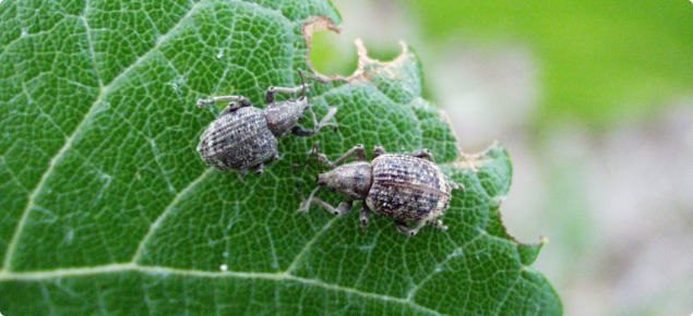 Garden weevil adults