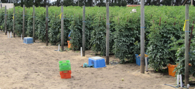 Tomato crop growing on sand with drip irrigation