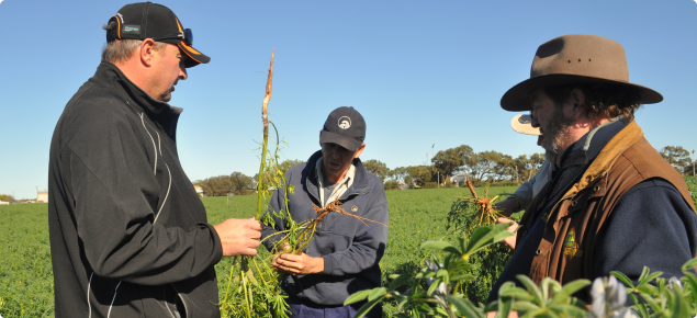 Geoff Thomas with some local agronomists looking at sclerotinia in lupins