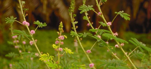 Giant sensitive plant