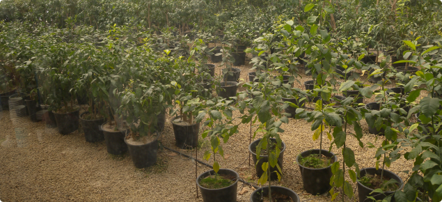 Citrus trees growing in a multiplication glasshouse