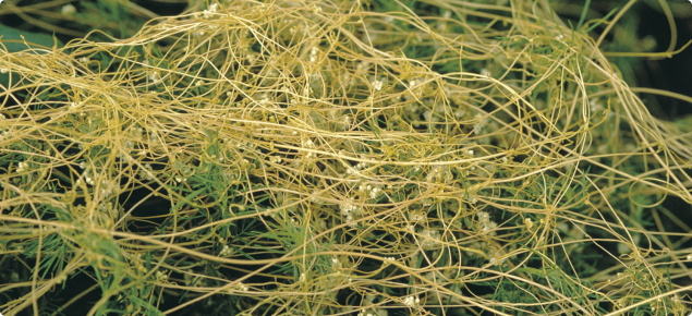 Golden dodder with smooth, hairless, thread-like stems, which twine round the host plant.