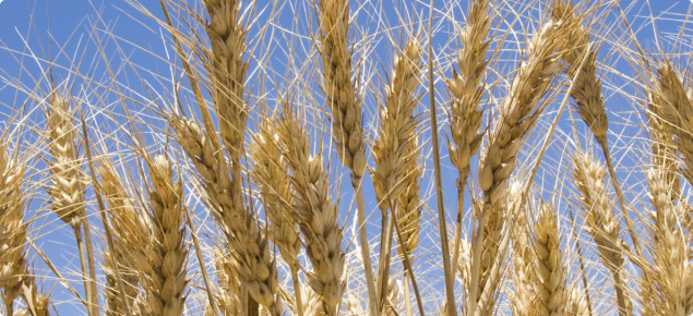 Mature wheat heads with a blue sky backdrop