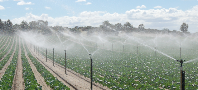 Sprinkler irrigation of vegetables