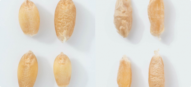 Image 5: Unfrosted to frosted grain comparision