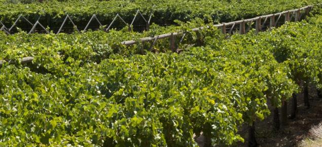 Wine grapes growing in Western Australia