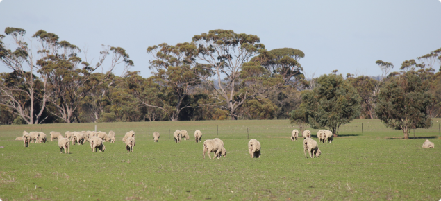 Sheep grazing at Katanning