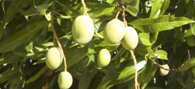 Green fruit on mango tree