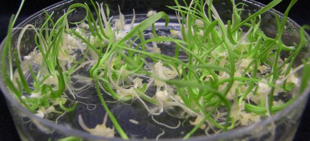 Doubled haploid wheat plants