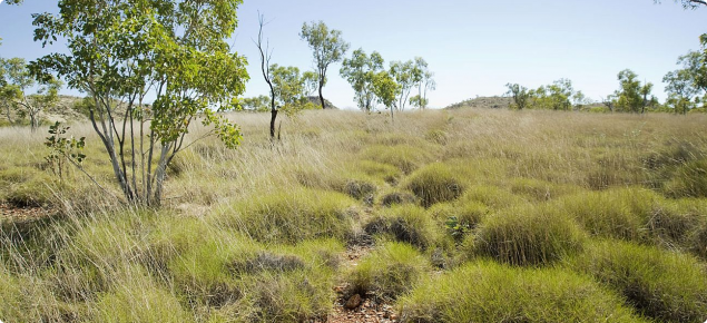 Photograph of hard spinifex (Triodia wiseana) in the east Kimberley