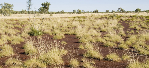Photograph of hard spinifex (Triodia spp.) plain pasture in fair condition in the east Kimberley