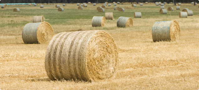 Rolled-round hay bails in paddock.