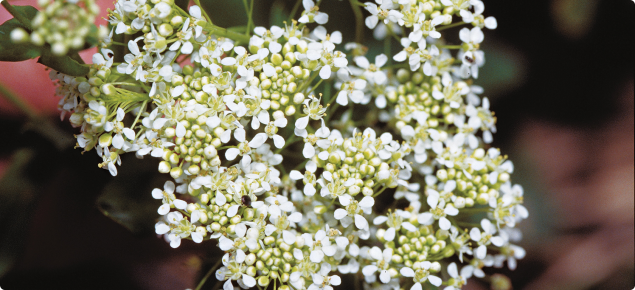 Hoary cress flowers
