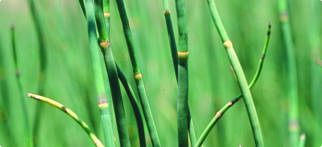 Horsetail Declared Pest Agriculture And Food