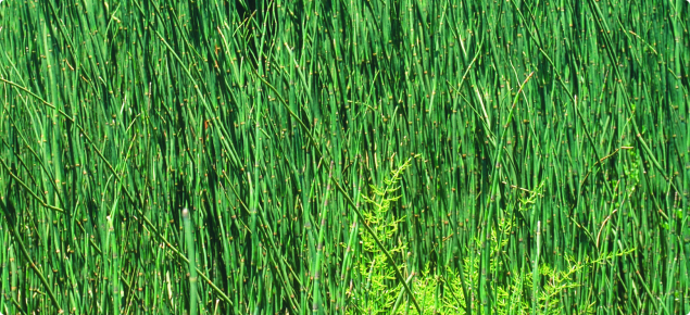 Infestation of horsetail