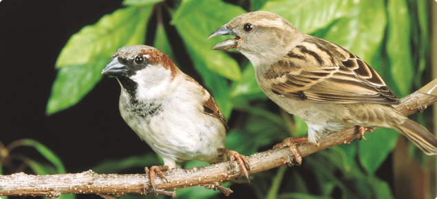 Male (left) and female house sparrows.