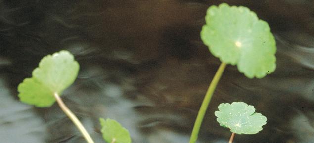 Hydrocotyl is an aquatic weed
