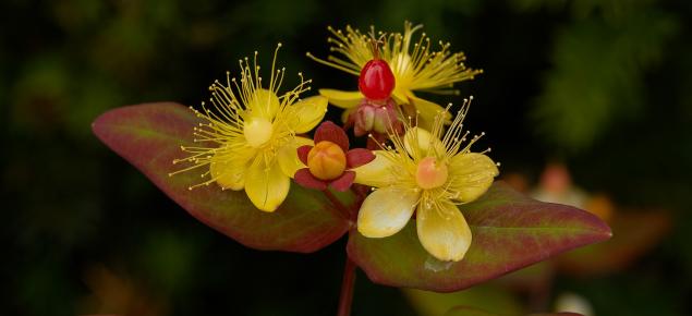 Tutsan Flair (Hypericum x inodorum