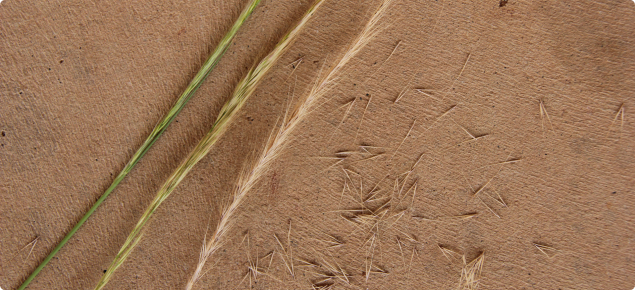 The development of the silvergrass seed head from green to mature