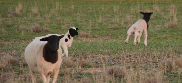 Dorper ewe and two lambs