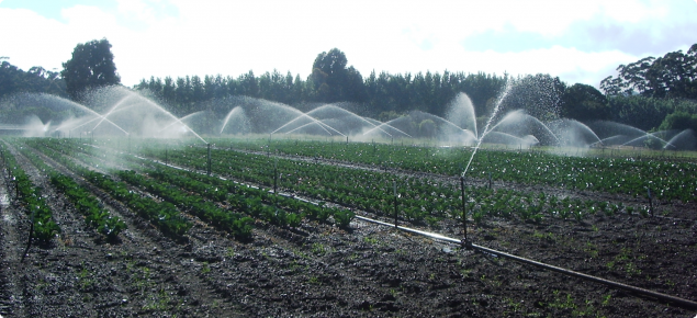 overhead irrigation of cauliflower crop