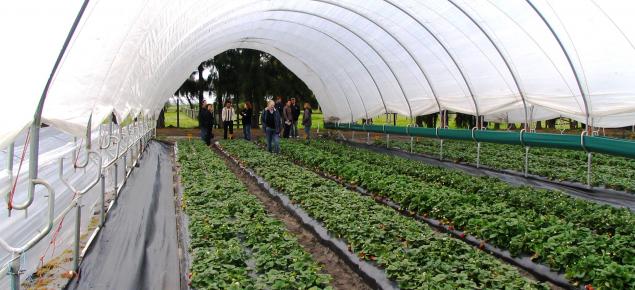 Strawberries grown under Haygrove tunnels