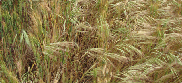 Bromus diandrus infestation in a mature crop