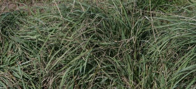 Consol lovegrass sward