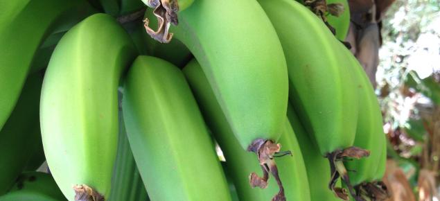 Carnarvon bananas