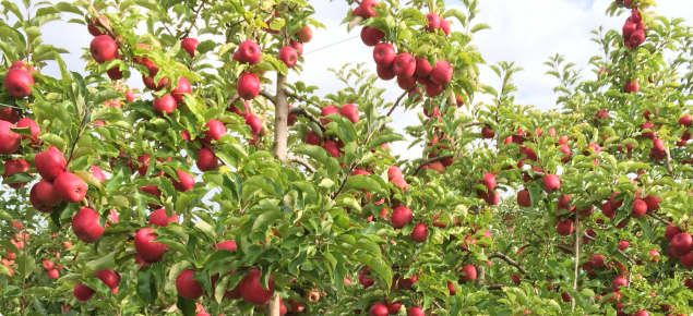 Drip irrigated apples showing good colour close to harvest at the Lysters orchard in Manjimup