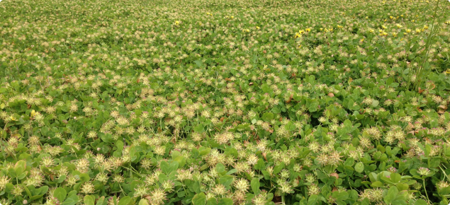 Bladder clover established with Twin sowing