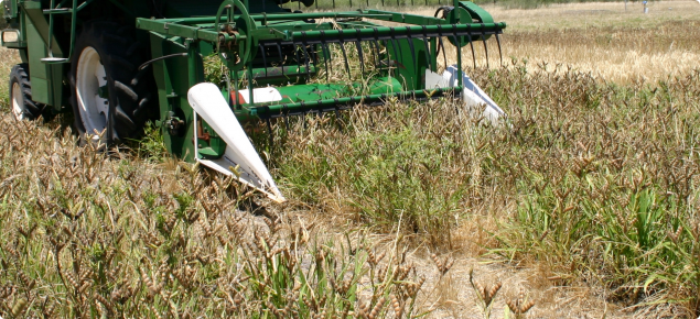 Close up of lupin crop being fed into small plot harvester.