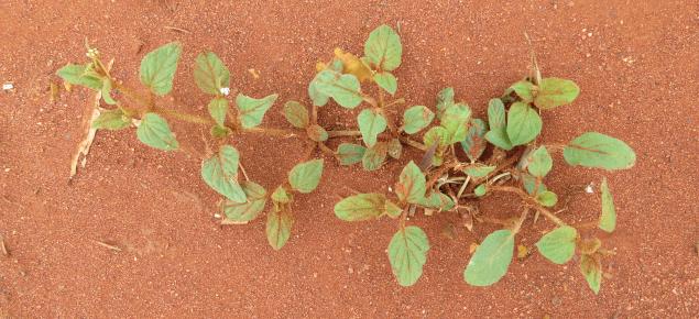 A mature tar vine plant at Mullewa