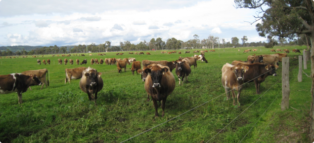 Cattle in a paddock used for rotational grazing
