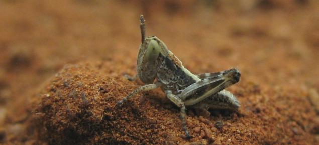 Australian plague locust hopper
