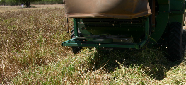Close up of back of small plot harvester running over lupin crop.