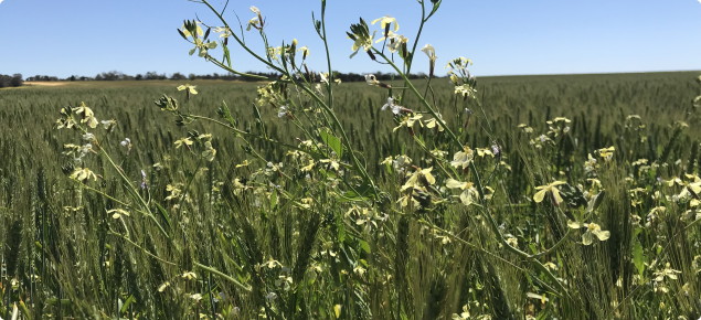Wheat crop with wild radish.