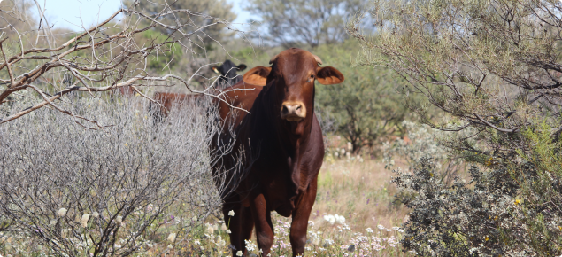 Pastoral cattle