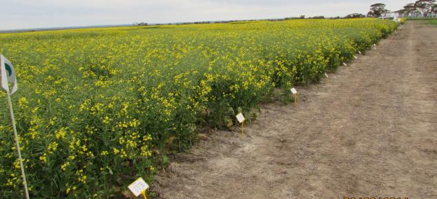 Flowering canola in density trial
